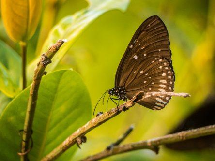 Papillon à Kohphiphi