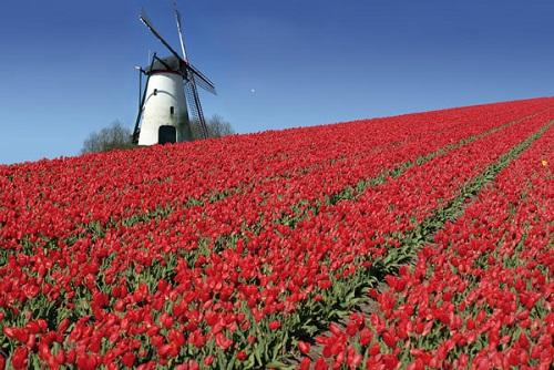 Célèbres champs de tulipes