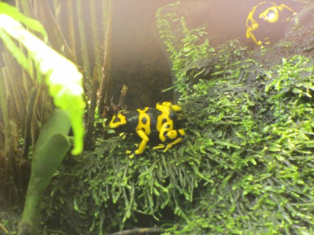 Grenouille tropicale