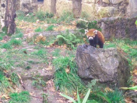 panda-roux-lyon