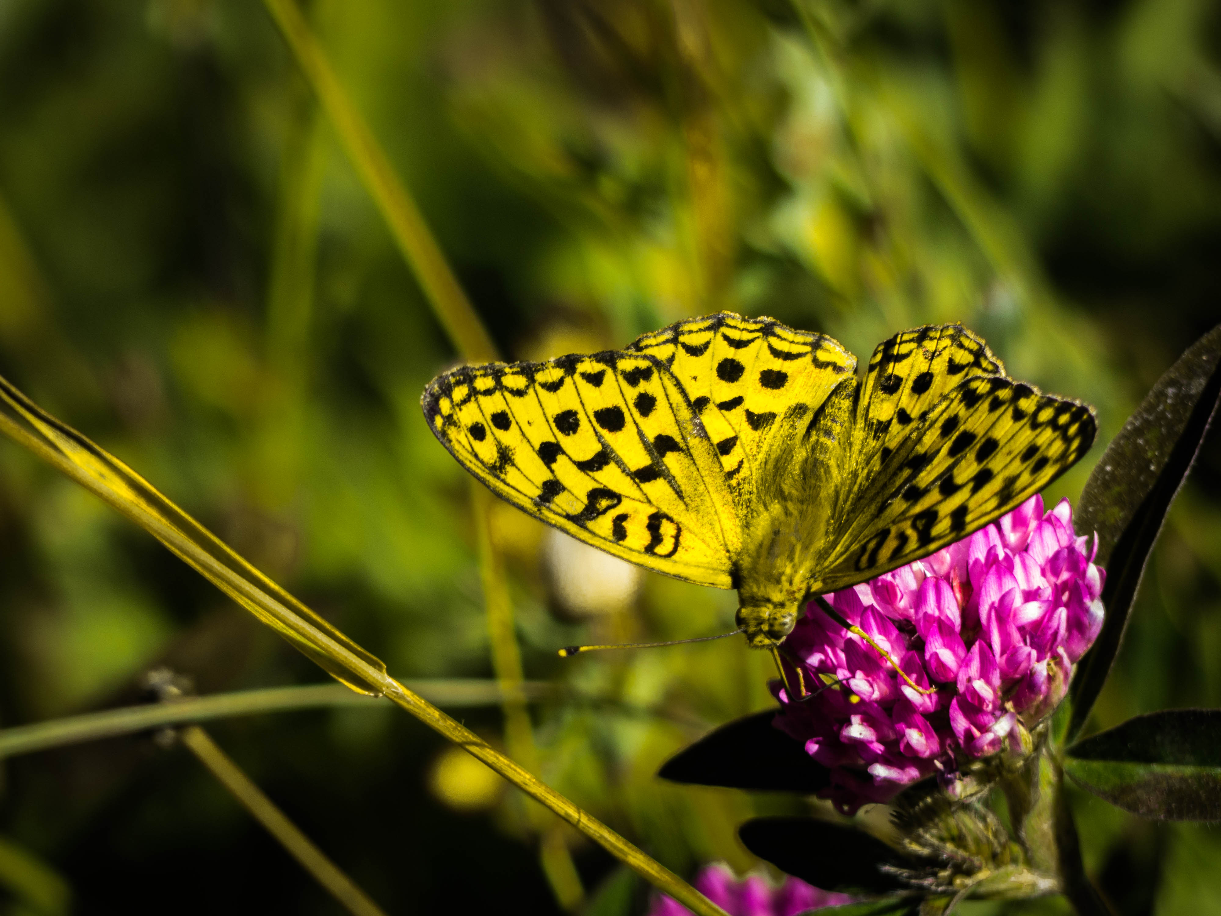 macro-papillon
