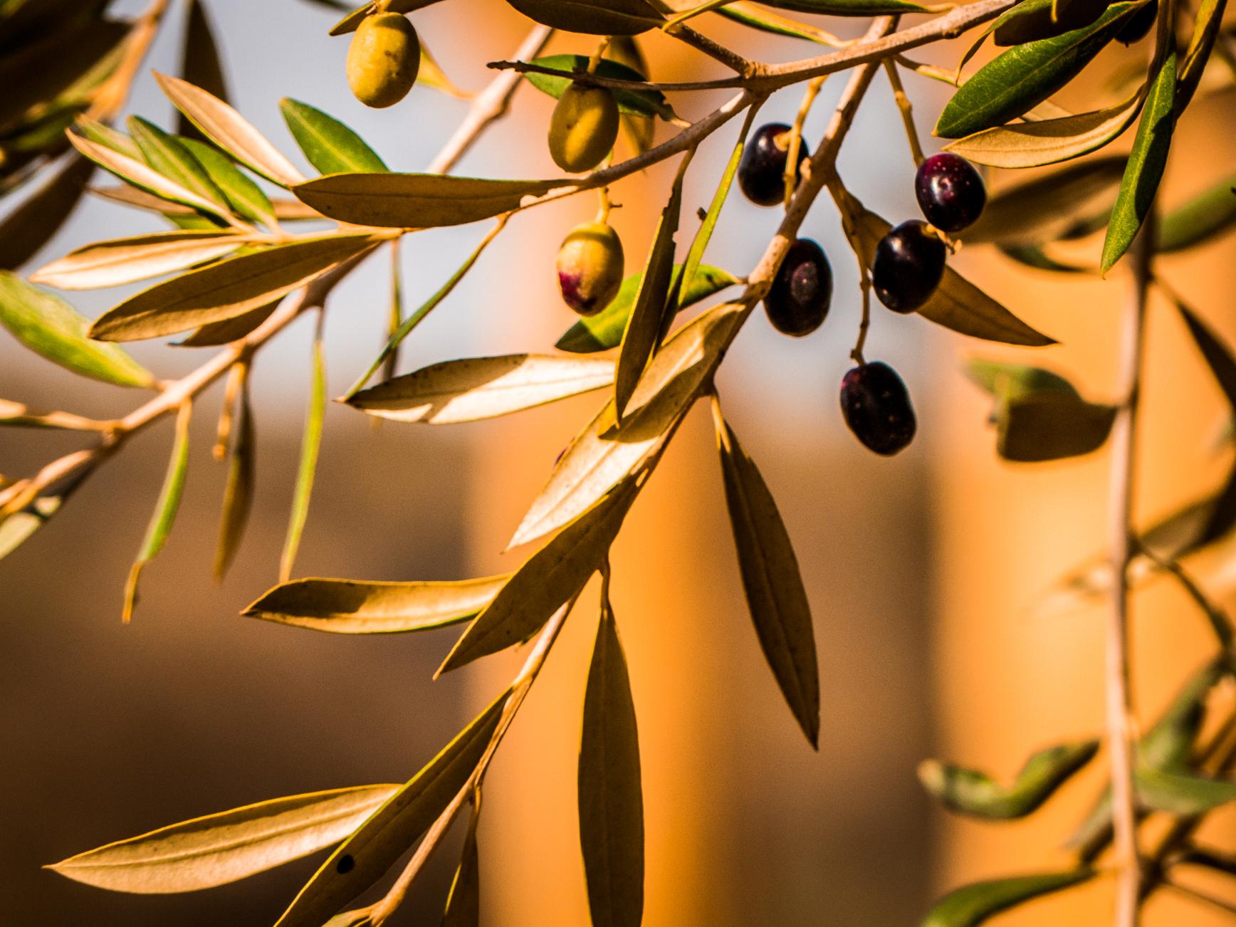 Olives Sicile