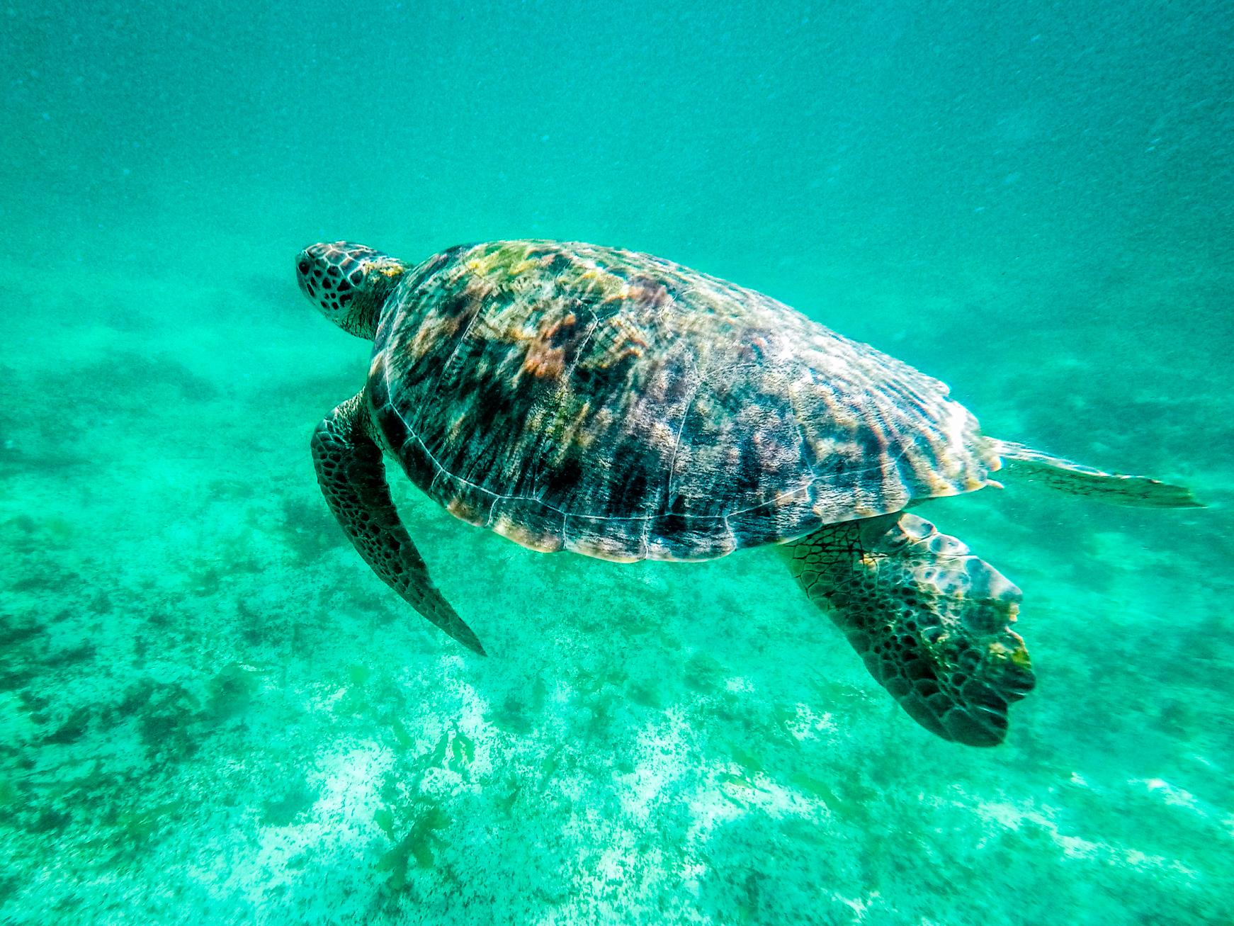 Tortue marine à Petite Terre