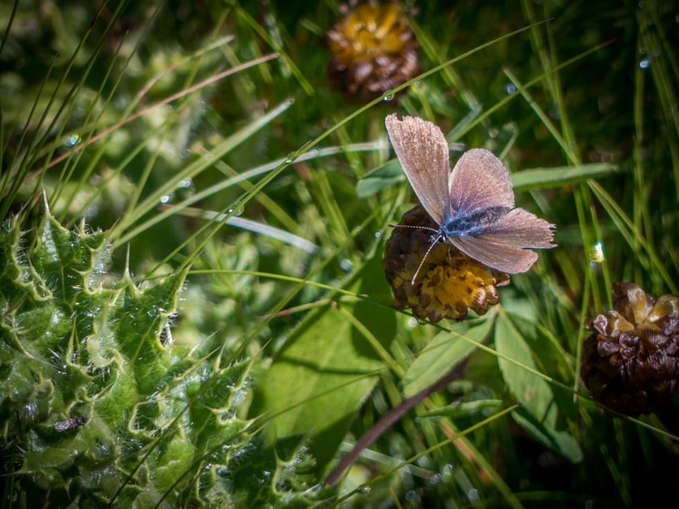 papillon-macro